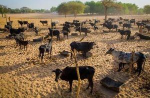 Buhari Farm 2